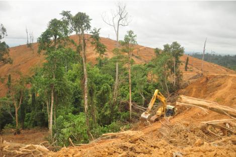 Indofood Agri Akhirnya Sepakat Hentikan Penebangan Habitat Orangutan di Kaltim